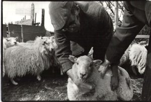Nicholas Roberts and His Welsh Mountain Sheep